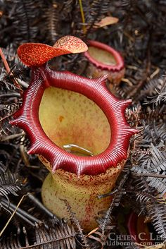 Nepenthes ventricosa. This beautiful pitcher plant is...