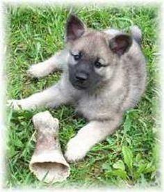 Norweigian Elkhound~ my first dog, her name was Sugar.