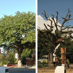 Toomer's Oaks before and after the poisoning. Breaks my heart. Glad I got to go to the final roll! Auburn Game, Auburn Football, Auburn Tigers, Iron Bowl, Tiger Love, Sweet Home Alabama, Auburn University, Thing 1, Football Season