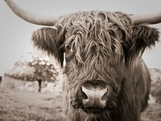 Highland Cow Print, Highland Cattle, Cow Pictures, Canvas Pictures, Cow Pics, White Cow, Black And White, Elephant Poster, Fluffy Cows