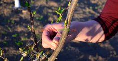 Cum se face și care este rostul plivitului la pomi | Paradis Verde Face Care, Paradis, Gardening, Plant, Facials, Facial Care, Garten, Lawn And Garden, Garden