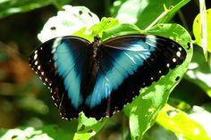 Capitão-do-mato tem um dos voos mais bonitos entre as borboletas. Esta espécie aparece em florestas tropicais, com destaque para a Mata Atlântica, e também em matas secundárias e regiões habitadas (Foto: Giselda Person / TG)