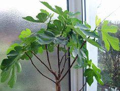 Fig, Apr 15. http://www.mandycanudigit.co.uk/#!figs/cxq4