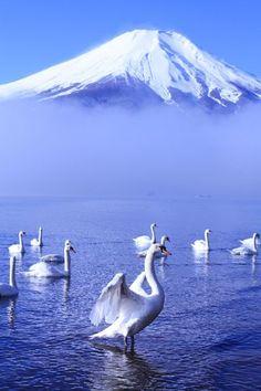 Swan at Lake Yamanaka with Mount Fuji, Yamanashi, Japan