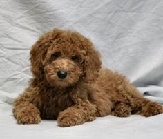 Mini Poodle. Looks like my Harley when he was little :)