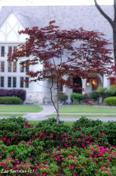 Japanese Maples are beautiful.  Learn which one is right for your garden.  http://leeanntorrans.com/japanese-maple/