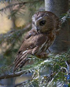 Sawwhet Owl.
