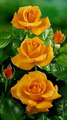 Growing Roses - 5 Top Mistakes to Avoid Beautiful Rose Flowers, Exotic Flowers, Amazing Flowers, Beautiful Flowers, Art Flowers, Rose Orange, Orange Flowers, Yellow Flowers, Rose Fotografie