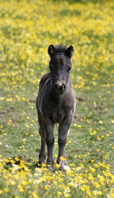 Sweet little dark colored foal in field of yellow flowers.