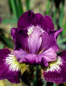 Jewelled Crown Siberian Iris  Another radiant orchid color.  This web site has grouped together all plants that are the 2014 color of the year