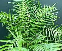 Pteris longifolia  An easy growing fern from Central America to a height of 80cm in the tropical to sub-tropical and will tolerate some sunlight.