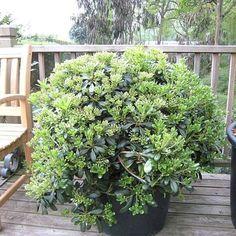 Pittosporum tobira Hedging Plants, Planting Plan, Tropical Garden, Evergreen, House Plants, Terrace, Coastal, Victoria, Gardening