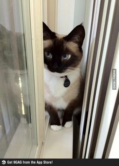 She's a lady - Snowshoe Siamese ...........click here to find out more http://googydog.com