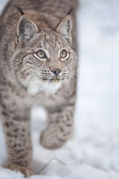 lynx ahead (captive) by Stefan Betz on 500px