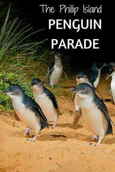 One of the most amazing things happens on Phillip Island in Australia- a penguin parade! Here's what to expect (warning: cuteness overload! Wombat, Beautiful Birds, Animals Beautiful, Beautiful Places, Baby Animals, Cute Animals, Penguin Parade, Phillips Island, Australian Animals