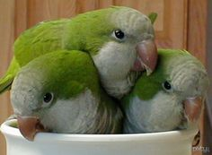 quaker parrot trio -i miss mine from childhood.  One day I'll train another pair