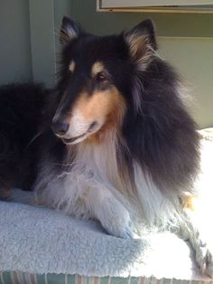 Niki, our rough collie boy