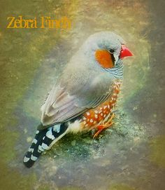 Zebra Finch by scilit, via Flickr