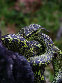 (Bothriechis nigroviridis)  black-speckled palm-pit viper