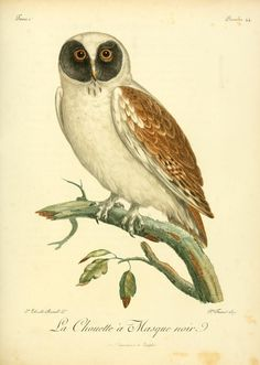 La Chouette a Masque Noir. Histoire naturelle des oiseaux d'Afrique t. 1. A Paris :Chez J.J. Fuchs, libraire ...,7, 1799-1808 Biodiversitylibrary. Biodivlibrary. BHL. Biodiversity Heritage Library
