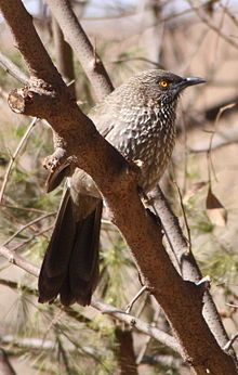 Arrow-marked Babbler/Pylvlekkatlagter: bunch of them busy on our grass yesterday morning :)
