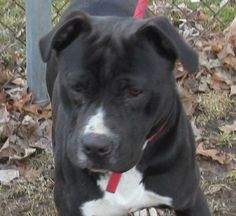 """SWEET BOY """"BRENT""""...FOUND IN CANTON, OHIO...Release date 3/19,  $ 86.00 fee includes license, 4 way shot, Bordetella vaccine, flea treatment if necessary.  Some dogs are also wormed, Heartworm tested.  $50.00 goes to the cost of spay/neuter and rabies. We take cash only, no checks, or credit..."""