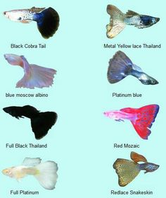 The Beauty of Underwater: Guppy (Ikan Seribu) Tropical Freshwater Fish, Tropical Fish Aquarium, Tropical Fish Tanks, Freshwater Aquarium Fish, Betta Fish Types, Betta Fish Tank, Pleco Fish, Oscar Fish, Aquatic Turtles