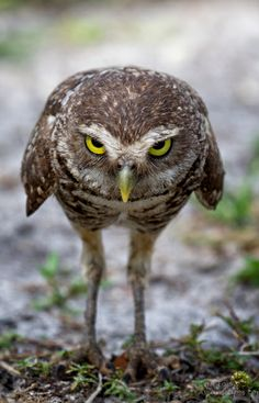 Owl by Alfred Forns