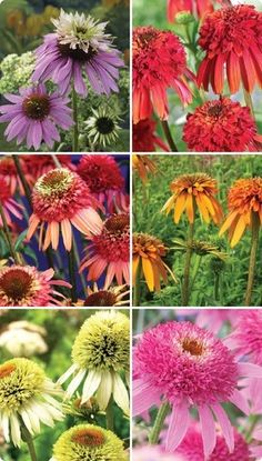 Purple / Red / Orange / White / Pink Double Coneflowers (Echinacea)