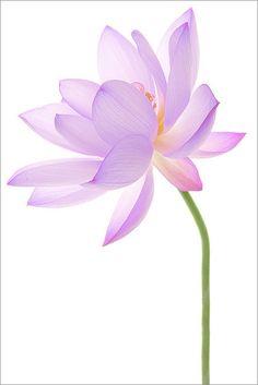 Lotus Flower #3720, by Bahman Farzad