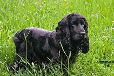 Gorgeous black spaniel in the grass