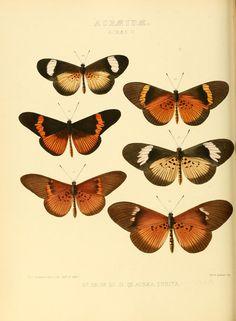 V. 2 - Ejemplos de nuevas especies de mariposas exóticas: - Biodiversity Heritage Library