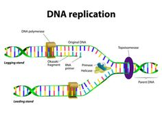 DNA-Replikation mit Okazaki-Fragmenten - Free Study Guides Source by alyveadotcom Dna Transcription And Translation, Dna Worksheet, Dna And Genes, Dna Facts, Student Login, Biology Lessons, Study Biology, Dna Replication, Dna Repair