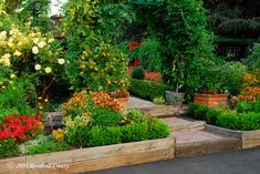 cherry tomatoes just ripening on the arbor over the front steps and my containers of figs, kumquats, and lemons–a welcoming edible landscape!