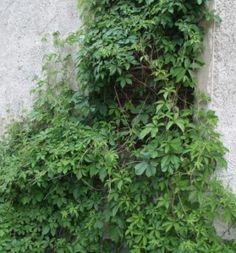 Parthenocissus quinquefolia Imukärhivilliviini