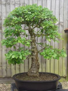 Even as a bonsai the oak is a majestic tree. This one has a very nice tapering trunk.   http://bonsai-passion.co.uk/2010/06/08/my-english-oak/