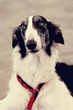 Borzoi #dogs #animal Russian Wolfhound Spaniel Terrier Dog Photography Puppy Hounds Chien Puppies Pup