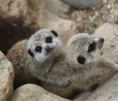 Two baby meerkats cuddling on the rocks.