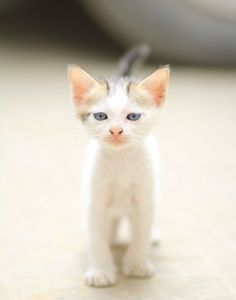 Kitten with pink ears and nose.