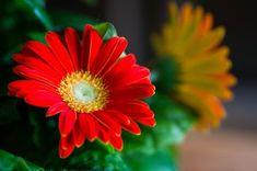Ideal bedroom plant: Gerbera daisy