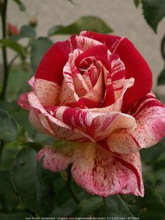 Rose 'Papageno'                                                       …