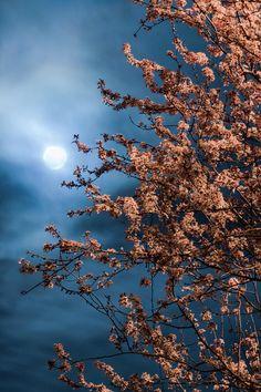 ✮ Moon Behind Cherry Blossom Tree