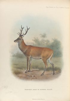 Bedford's Deer in Summer Pelage. From New York Public Library Digital Collections.
