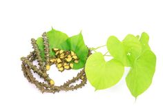 Boraped, Tinospora Crispa In der Traditionellen Thailändischen Medizin (TTM) wird Boraped angewendet: bei Hautkrankheiten (Psiorasis) zur Stärkung der Haarwurzeln, Förderung des Haarwuchses bei Diabetis (Senkung des Blutzuckerspiegels) zur Fiebersenkung bei Malaria    Wirkungsweise - Fiebersenkend - Entzündungshemmend - Blutzuckersenkend - Blutdrucksenkend - Appetitanregend - Verdauungsfördernd