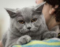 Jak wyglądają wystawy kotów rasowych FIFe