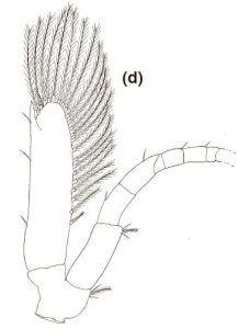 Neocaridina shrimp Antenna on 2nd stage