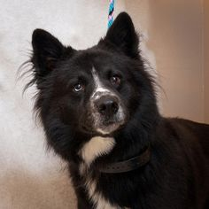 A change of luck was what Lucky needed, and that's just what he got! Lucky, a one to two-year-old Border Collie-Husky mix was surrendered by his owner to the Blount County Animal Center shelter in Tennessee on October 30th. His owner couldn't deal with Lucky's behavior, which was pretty typical for his breed (wary of strangers, energetic, herding instinct, etc). Unluckily, Lucky also tested heartworm positive.