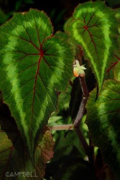 Begonia cathayana Yunnan  Orange flower form