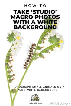 In this close up photography tutorial learn how to photograph small animals like bugs and reptiles on a pure white background.
