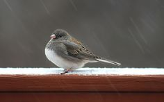 https://flic.kr/p/Ecrk5Y | Bird under snow (On Explore 3/11/2016) | This relative slow shot at 1/40 sec allows the viewer to see the trajectory of the falling particles of ice on this windy frizzing raining day. The bird, I believe, is some kind of sparrow, (thank you in advance if you can identify it precisely. PS – consensus indicate the bird is a dark-eye junco) seems not to mind the weather and it was getting ready for a free meal. Sparrows are some of the few passerine birds that…